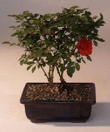 Flowering Mini Rose Tiny Red Bonsai Tree For Sale
