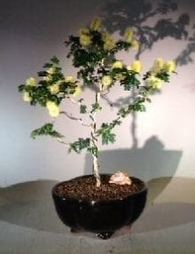 Flowering Texas Ebony Bonsai Tree For Sale (Pithecolobium Flexicaule)