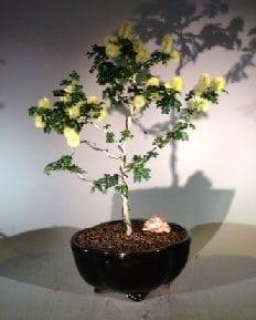 Flowering Texas Ebony Bonsai Tree For Sale (Pithecolobium Flexicaule)