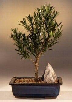 Flowering Podocarpus Bonsai Tree For Sale Dwarf Pringles Upright Style Large Podocarpus Macrophyllus Bonsai Tree Gardener