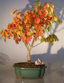 Burning Bush Bonsai Tree For Sale (euonymous 'little moses')