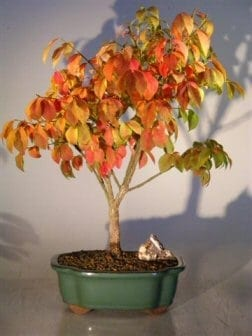 Burning Bush Bonsai Tree For Sale (euonymous 'little moses')