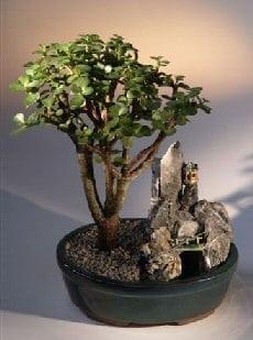 Baby Jade Bonsai Tree For Sale Stone Landscape Scene Portulacaria Afra Bonsai Tree Gardener