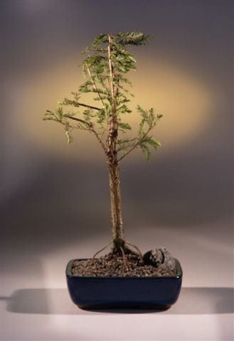 Bald Cypress Bonsai Tree For Sale (taxodium distichum)