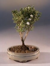 Mount Fuji Serissa - Small Bonsai Tree For Sale (serissa foetida)
