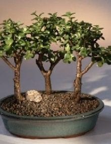 Baby Jade Bonsai Tree For Sale - 3 Bonsai Tree Group (portulacaria afra)