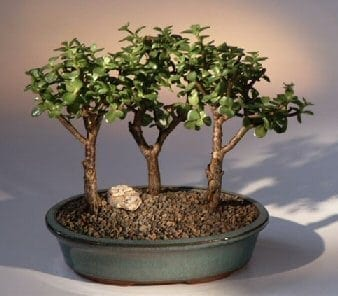 Baby Jade Bonsai Tree For Sale 3 Bonsai Tree Group Portulacaria Afra Bonsai Tree Gardener