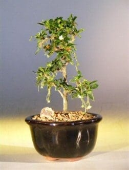 Fukien Tea Bonsai Tree For Sale - Small Straight Trunk Style (ehretia microphylla)