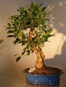 Ficus Retusa Golden Coin Bonsai Tree For Sale Curved Trunk - Large (ficus retusa)