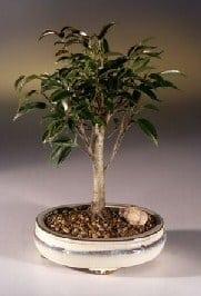 Ficus Midnight Bonsai Tree For Sale- Medium (benjamina 'midnight')