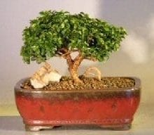 Japanese Kingsville Boxwood - Medium Bonsai Tree For Sale (buxus microphylla 'compacta')