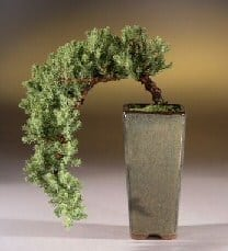 Juniper Bonsai Tree For Sale - Cascade Style