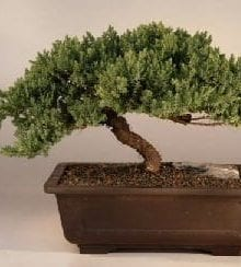 Juniper Bonsai Tree For Sale Windswept - Extra Large (juniper procumbens 'nana')