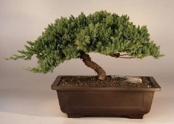Juniper Bonsai Tree For Sale Windswept Extra Large Juniper Procumbens Nana Bonsai Tree Gardener