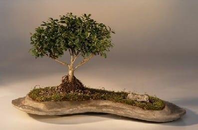 Japanese Kingsville Boxwood Bonsai Tree For Sale Planted on a Rock Slab