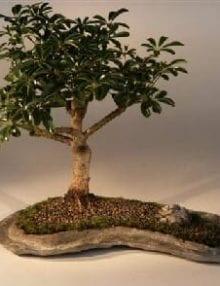 Hawaiian Umbrella Bonsai Tree For Sale on a Rock Slab (arboricola schefflera 'luseanne')