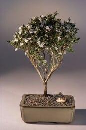Flowering Mount Fuji Serissa Bonsai Tree For Sale Medium Serissa Foetida Bonsai Tree Gardener