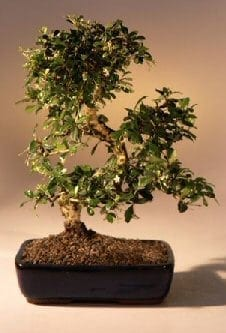 Fukien Tea Flowering Bonsai Tree For Sale - Large Curved Trunk Style (ehretia microphylla)