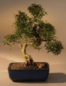 Chinese Flowering White Serissa Bonsai Tree For Sale of a Thousand Stars Curved Trunk Style Extra Large (serissa japonica)