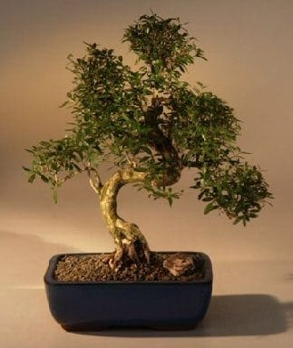 Chinese flowering white serissa bonsai tree for sale of a thousand chinese flowering white serissa bonsai tree for sale of a thousand stars curved trunk style extra mightylinksfo
