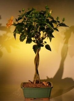 Flowering Mango Mist Tropical Hibiscus Bonsai Tree For Sale - Braided Trunk Style (rosa sinensis)