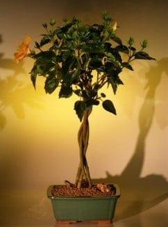 Flowering Mango Mist Tropical Hibiscus Bonsai Tree For Sale - Braided Trunk Style (rosa sinensis)