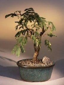 Flowering Mimosa Bonsai Tree For Sale - Large (leucaena glauca)