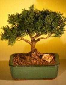 Shimpaku Bonsai Tree For Sale Bonsai Tree For Sale - Large (shimpaku itoigawa)