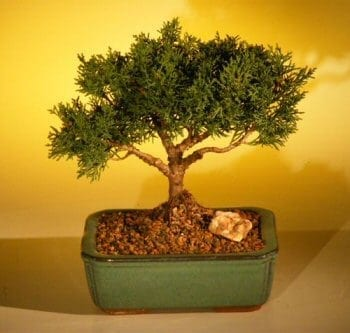 Shimpaku Bonsai Tree For Sale Bonsai Tree For Sale - Large (shimpaku itoigawa)