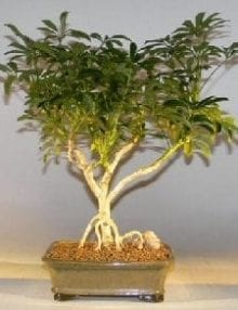 Hawaiian Umbrella Bonsai Tree For Sale - Large Exposed Roots (arboricola schefflera 'luseanne')