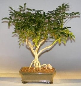 Hawaiian Umbrella Bonsai Tree For Sale Large Exposed Roots Arboricola Schefflera Luseanne Bonsai Tree Gardener
