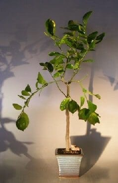 Flowering Persian Lime Bonsai Tree For Sale (citrus latifolia)