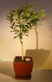 Flowering Tangerine Citrus Bonsai Tree For Sale - Seedless (kishu mandarin)