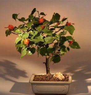Flowering Dwarf Hibiscus Red Chinese Lantern Bonsai Tree For Sale - Medium (hibiscus grandidieri)