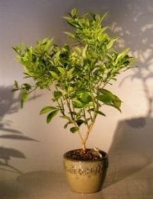 Blood Orange Bonsai Tree For Sale ('citrus sinensis')