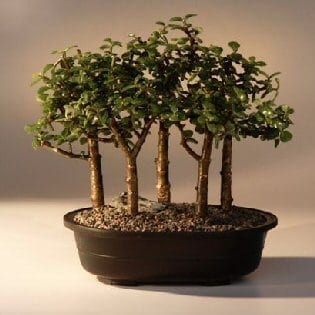 Baby Jade Bonsai Tree For Sale Five Tree Forest Group