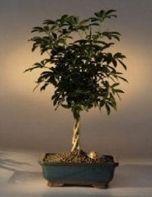 Hawaiian Umbrella Bonsai Tree For Sale Braided Twist (Arboricola Schefflera 'Luseanne')