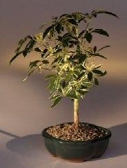 Golden Hawaiian Umbrella Bonsai Tree For Sale - Small (arboricola schefflera 'luseanne')