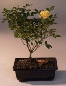 Flowering Mini Rose Bonsai Tree For Sale Tiny Yellow