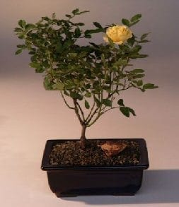 Flowering Mini Rose Bonsai Tree For Sale Tiny Yellow