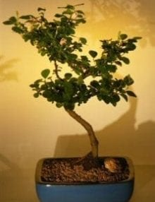 Flowering Lavender Star Flower Bonsai Tree For Sale - Large (Grewia Occidentalis)