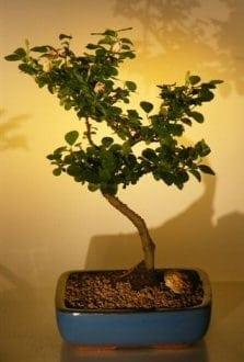 Flowering Lavender Star Flower Bonsai Tree For Sale - Large (Grewia Occidentalis)