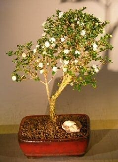 Flowering Snow Rose Serissa Bonsai Tree For Sale - Large (serissa foetida)