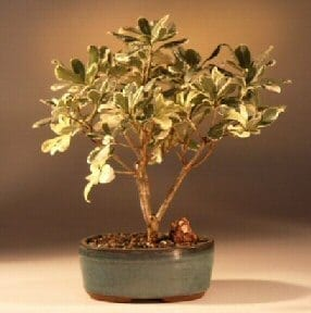 Flowering Japanese Mock Orange Bonsai Tree For Sale - Variegated (pittosporum tobira variegata)