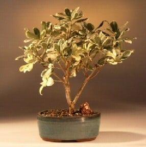 Flowering Japanese Mock Orange Bonsai Tree For Sale Variegated Pittosporum Tobira Variegata Bonsai Tree Gardener