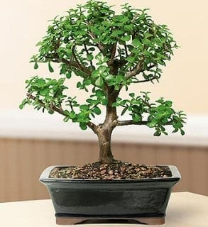 Baby Jade Bonsai Tree For Sale - Large (Portulacaria Afra)