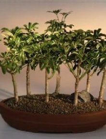 Hawaiian Umbrella Bonsai Tree For Sale 7 Tree Forest Group (arboricola schefflera 'luseanne')