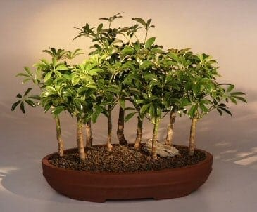 Hawaiian Umbrella Bonsai Tree For Sale 9 Tree Forest Group (arboricola schefflera 'luseanne')