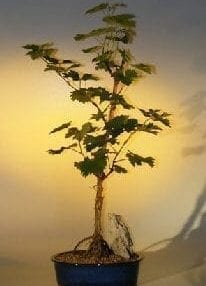 Grapevine Bonsai Tree For Sale (cabernet sauvignon)