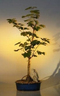 Grapevine Bonsai Tree